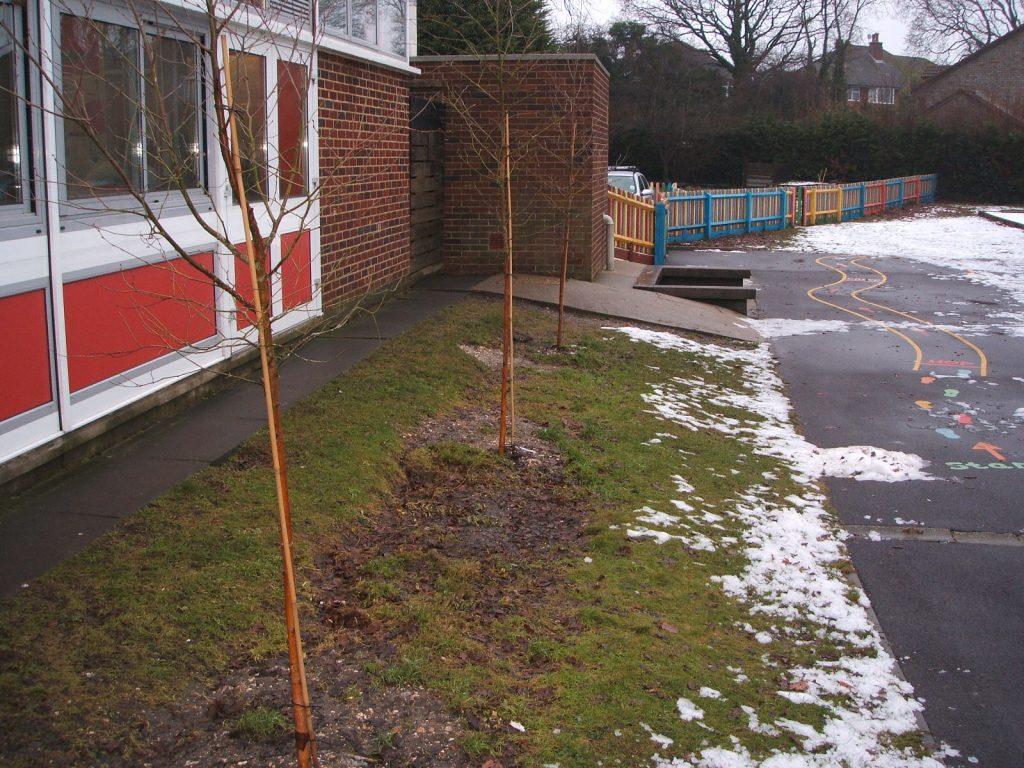 new-birch-trees-003
