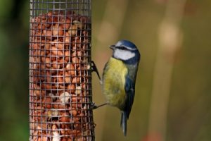 Photo: Blue Tit on Bird Feeder