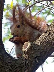 Red Squirrel by Andrzej Barabasz (Chepry) (Own work) [GFDL (http://www.gnu.org/copyleft/fdl.html) or CC-BY-SA-3.0 (http://creativecommons.org/licenses/by-sa/3.0)], via Wikimedia Commons