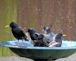 Photo: Birds in bird bath