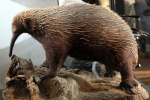 Taxidermied Long-beaked echidna