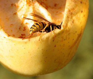 Wasp eating apple