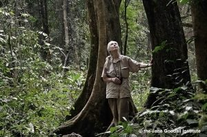 Dr. Jane Goodall scans the tree tops for looking for chimpanzees in Gombe National Park on  July 14, 2010, the 50th anniversary o fher arrival at Gombe.