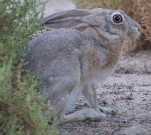 Cape Hare (Lepus capensis arabicus)