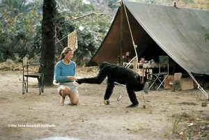 Young researcher Jane Goodall with David Greybeard, the first chimpanzee to lose his fear of her when she began her studies in Gombe Stream Chimpanzee Reserve in Tanganyika.