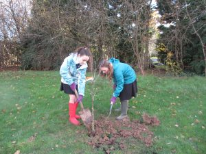 Year 7 students digging in an apple tree