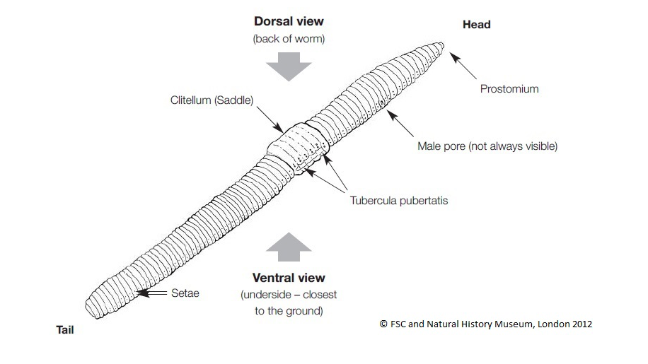 Anatomy Of A Earthworm 1618305 Follow4morefo
