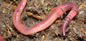 Earthworm, from mhm.ac.uk