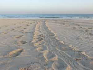 Can you spot the tracks of the mother turtle?