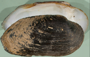 Freshwater mussell