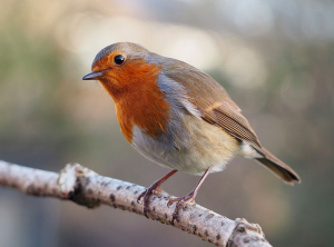 A robin, or Erithacus rubecula, with cocked head by  Francis C. Franklin / CC-BY-SA-3.0