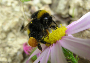 Image creative commons by Tony Wills  https://en.wikipedia.org/wiki/Bumblebee#/media/File:Bumblebee_05.JPG
