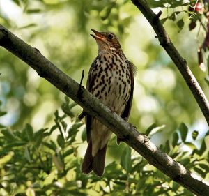 Image creative commons by Taco Meeuwsen https://en.wikipedia.org/wiki/Song_thrush#/media/File:Song_Thrush_(Turdus_philomelos)_singing_in_tree.jpg