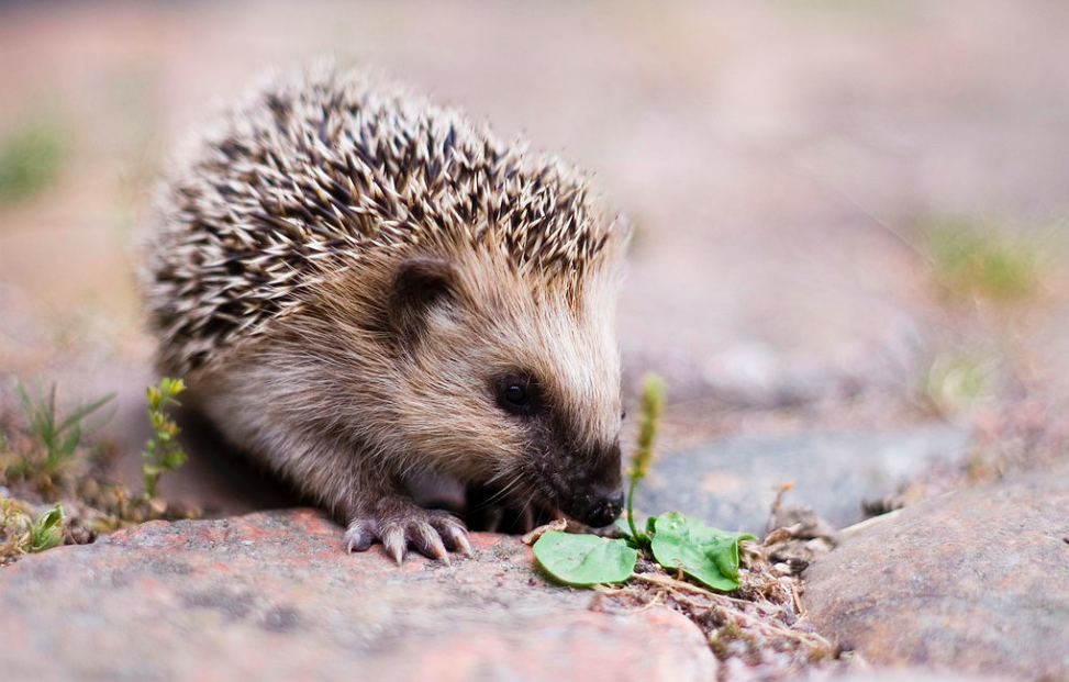 Young European Hedgehog by Lars Karlsson (Keqs) via Creative Commons (https://commons.wikimedia.org/wiki/File:Keqs_young_european_hedgehog1.jpg)