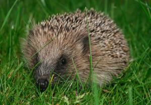 European Hedgehog (Gaudete - please see Soil-Net project website http://www.soil-net.com/album) via Creative Commons (https://en.wikipedia.org/wiki/Hedgehog#/media/File:European_hedgehog_(Erinaceus_europaeus).jpg)