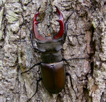Stag Beetle-ing about