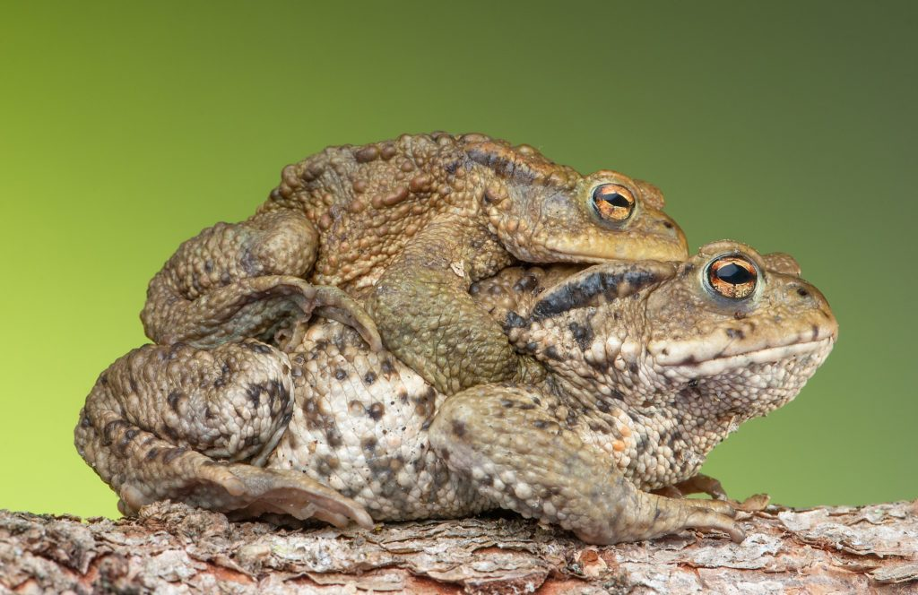 An image of a male common toad on the back of a female common toad, as part of the mating process