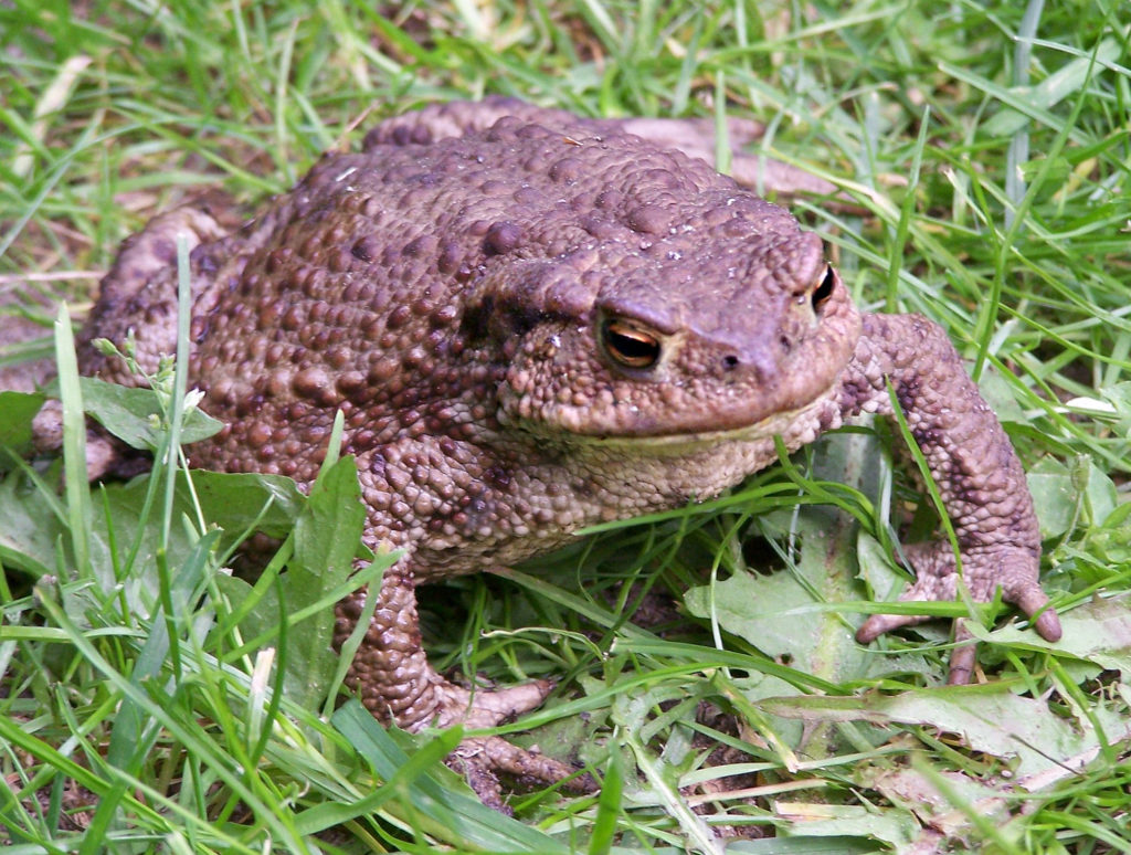 An image of a common toad with it's lumpy skin, standing in grass