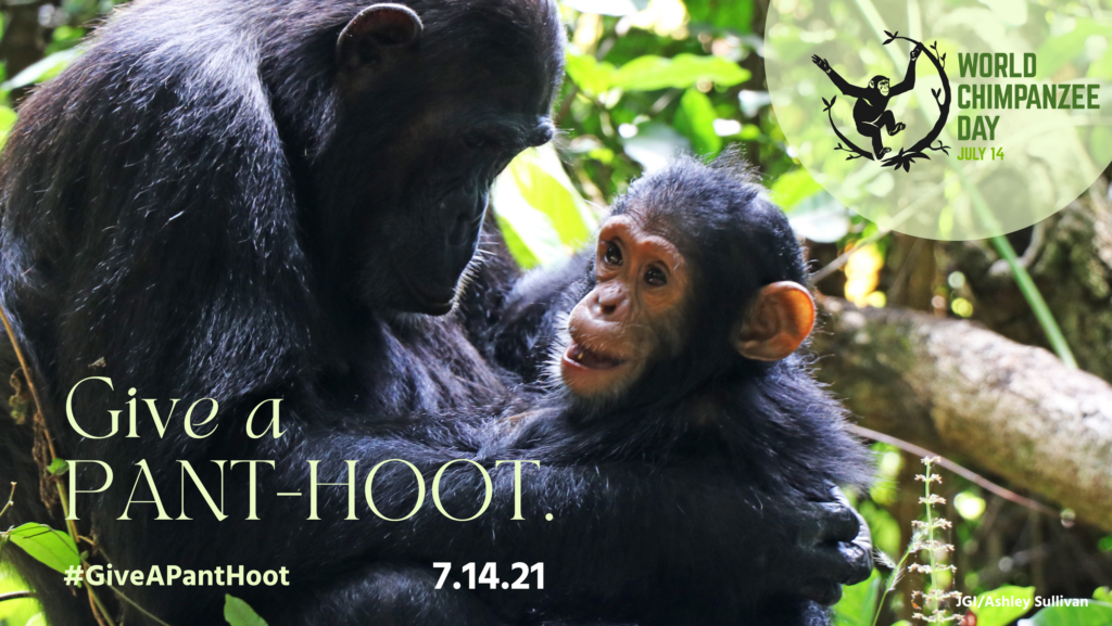 An image of an adult chimpanzee holding a baby chimpanzee in the forest. The baby is smiling. In the top left hand corner is a green semi-circle with a graphic of a chimpanzee and branches, and the words 'World Chimpanzee Day'. In big green lettering are the words 'give a PANT-HOOT'