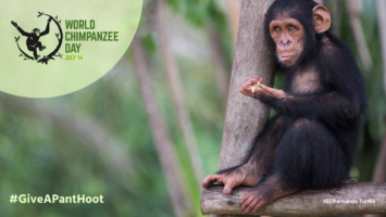 Celebrate World Chimpanzee Day with us!