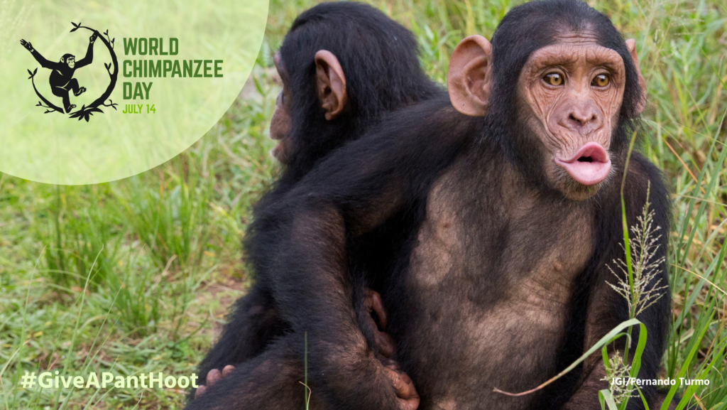 A photograph of two chimpanzees, one facing away from the camera, the other looking towards the camera with its lips pursed as it is making a vocalisation. In the top left hand corner is a green semicircle and in it a graphic of a chimpanzee swinging through branches and the words 'world chimpanzee day'
